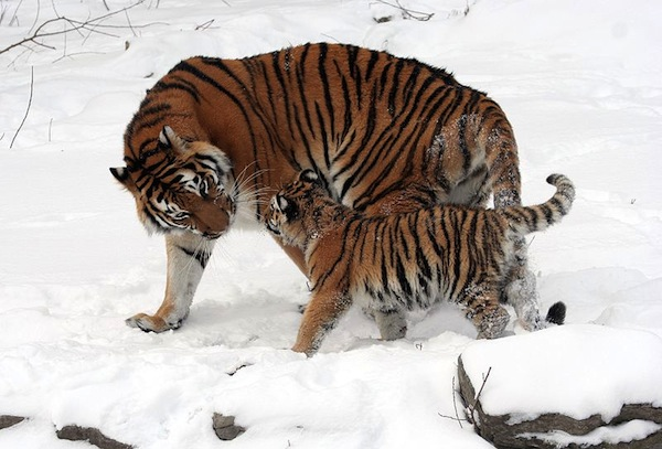 Siberian Tiger mother and cub, Buffalo Zoo