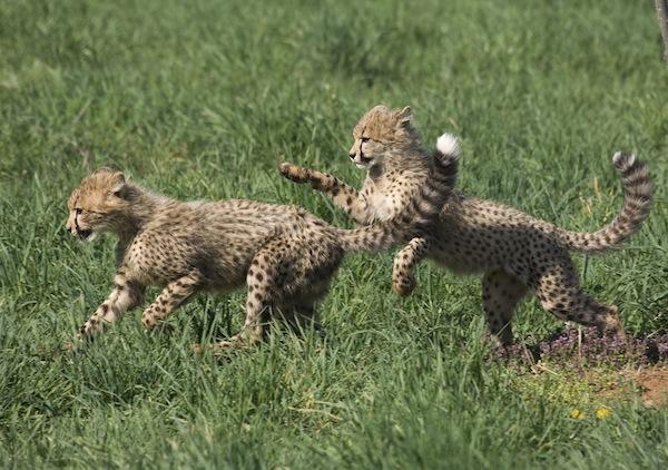 cheetah cubs at smithsonian zoo