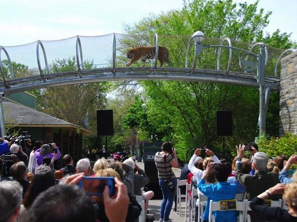 tiger on zoo360 crossing at philadelphia zoo