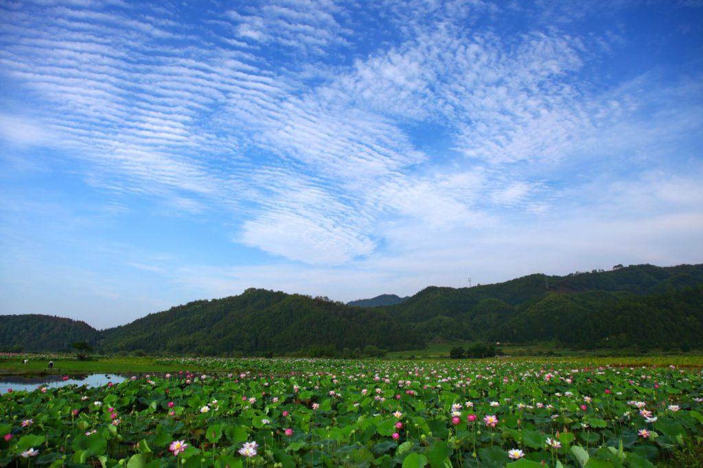 lotus blossom flower park wuyishan