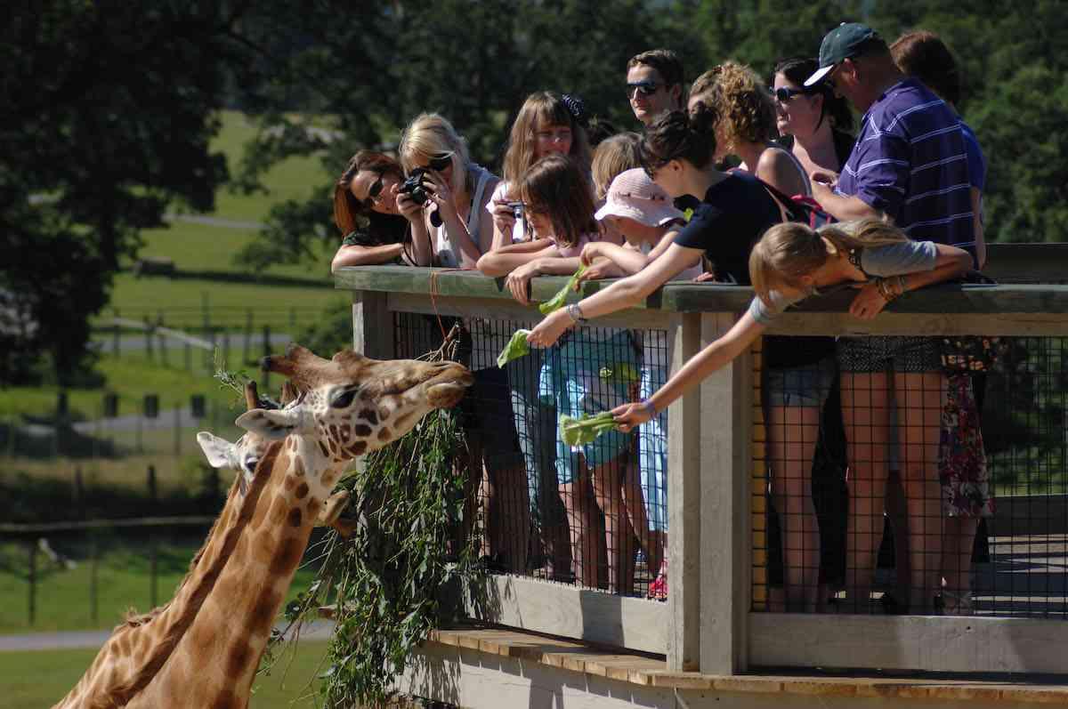 people feeding a giraffe at longleat