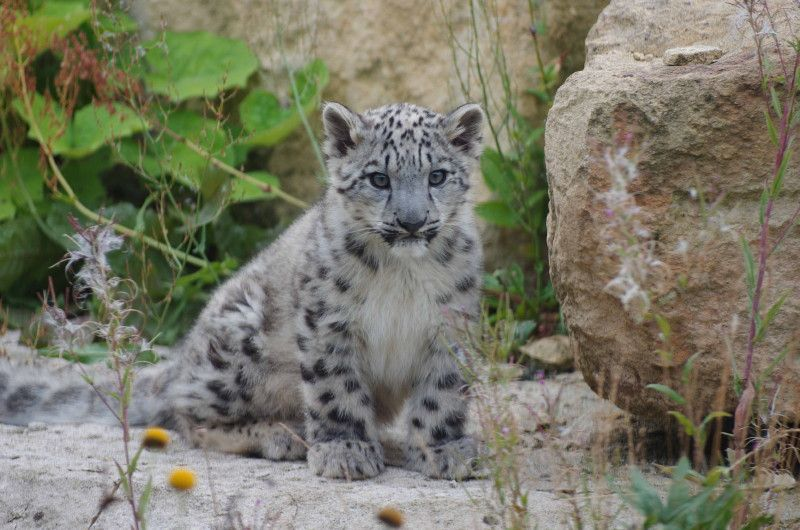 snow leopard cubs twycross zoo