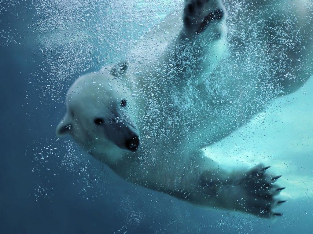 swimming polar bear wildlands adventure zoo emmen