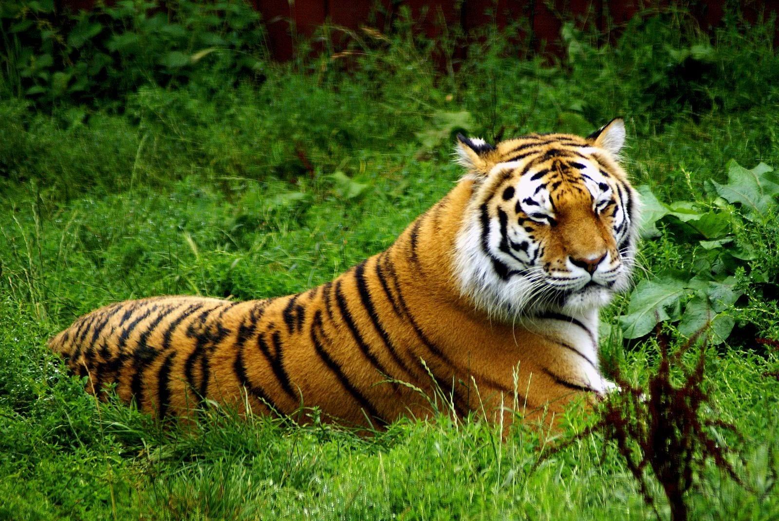amur tiger detroit zoo
