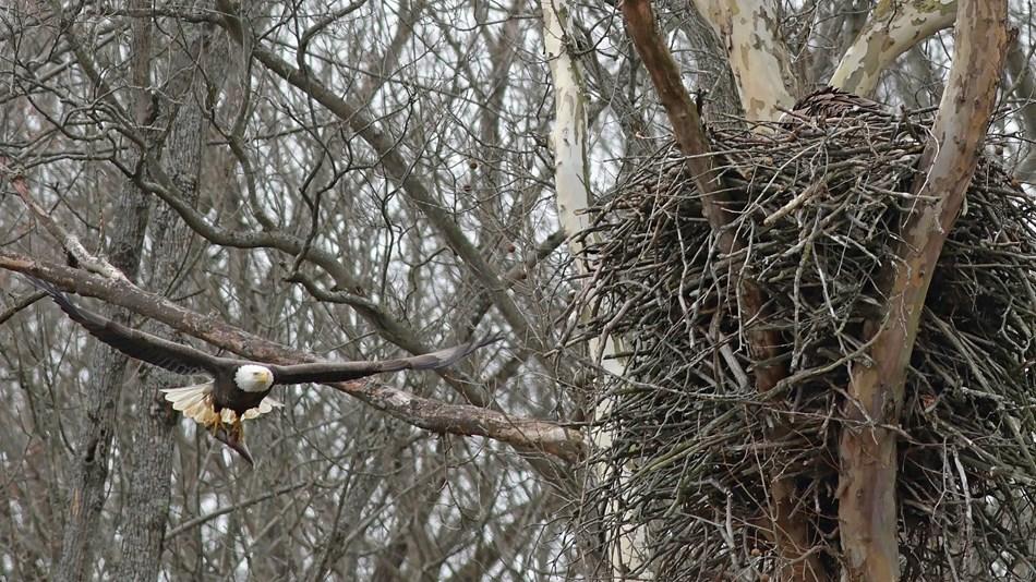 Cuyahoga Valley National Park bald eagle