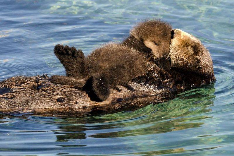 sea otter mum and cub Veterinary Clinic