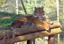 sumatran tiger paington zoo savannah