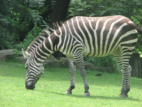 zebra at zoo on green field Blooloop
