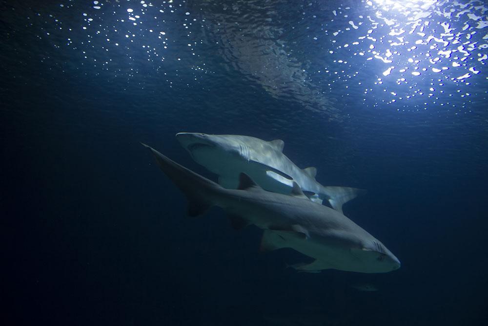 DavideSaba-shark trust