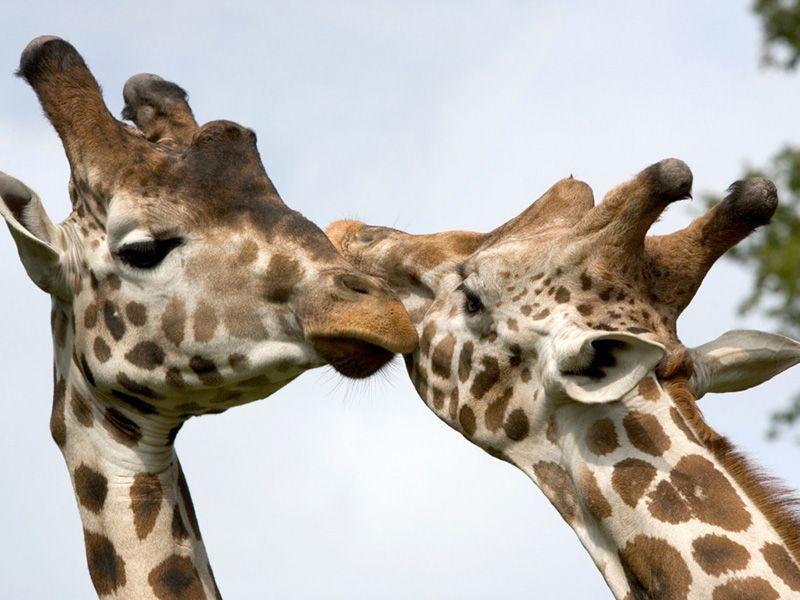 Giraffe knowsley