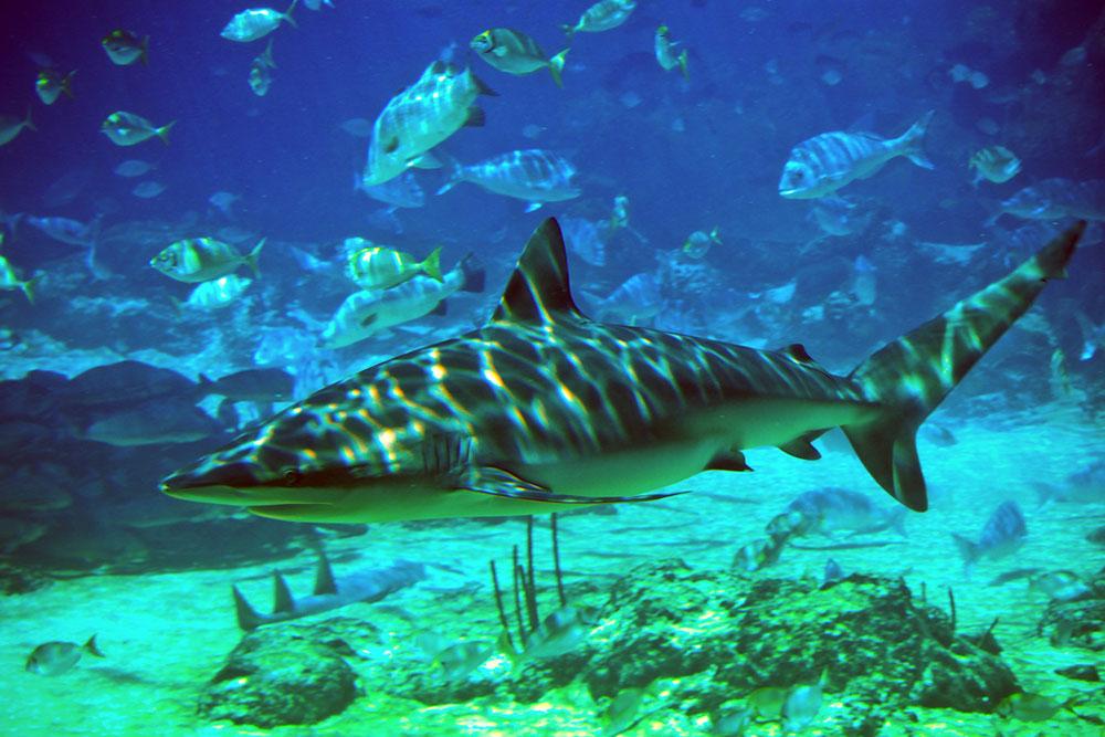 R.-Jeremia-shark
