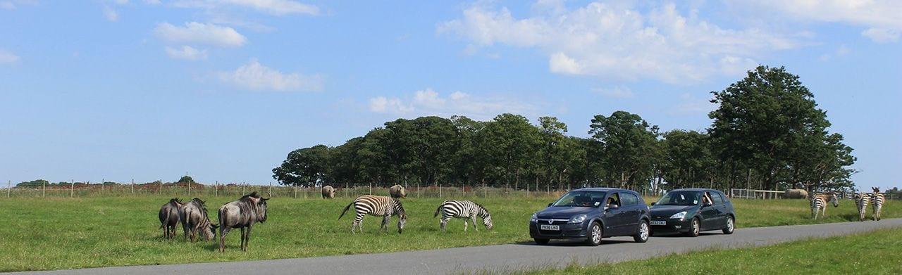 Rhino Section, wildebeest, zebra knowlsey