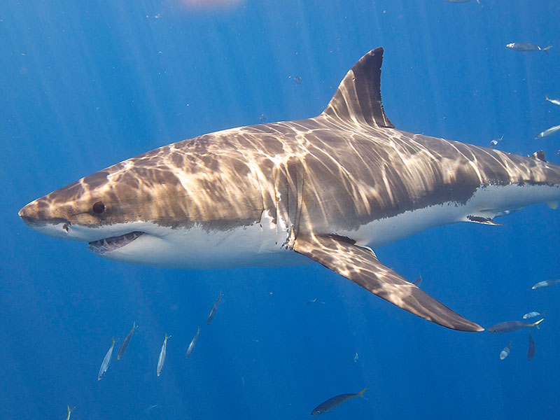 great-white-shark-Elias-Levy shark trust