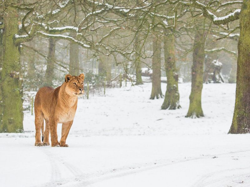 lion-in-snow knowsley