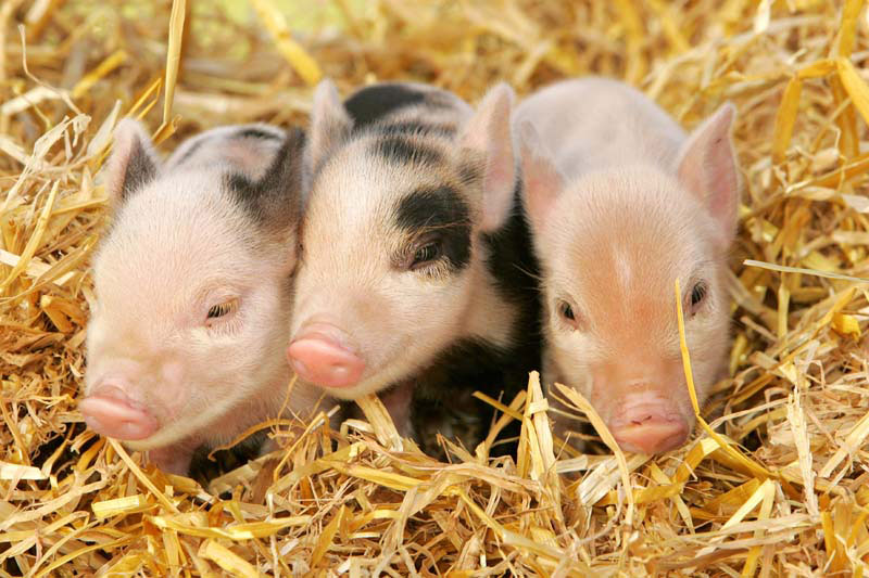 willow activity farm pigs