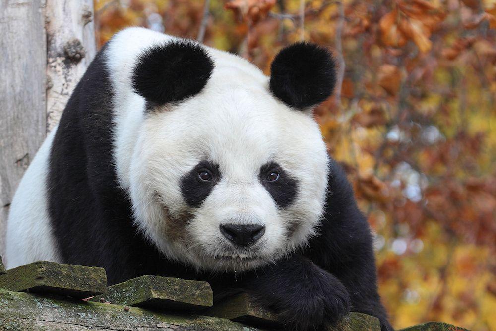 Bao Bao giant panda berlin zoo Ailuropoda melanoleuca