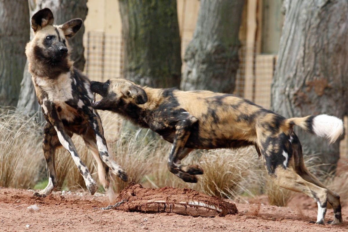painted dogs at chester zoo uks most viisted attraction outside london