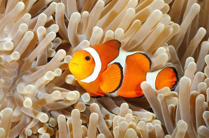 clownfish in anemone jakarta aquarium