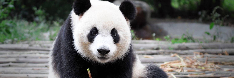 giant pandas berlin zoo