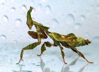 Phyllocrania paradoxa ghost mantis aza annual conference 2020