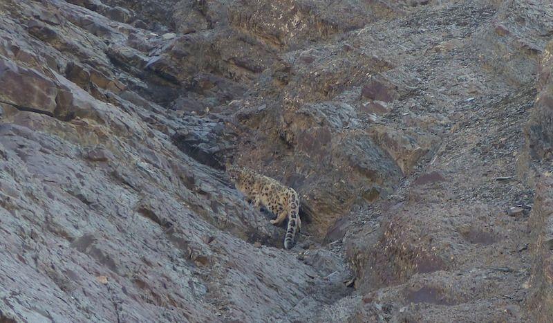 Snow leopard. Credit Carlos Lozano