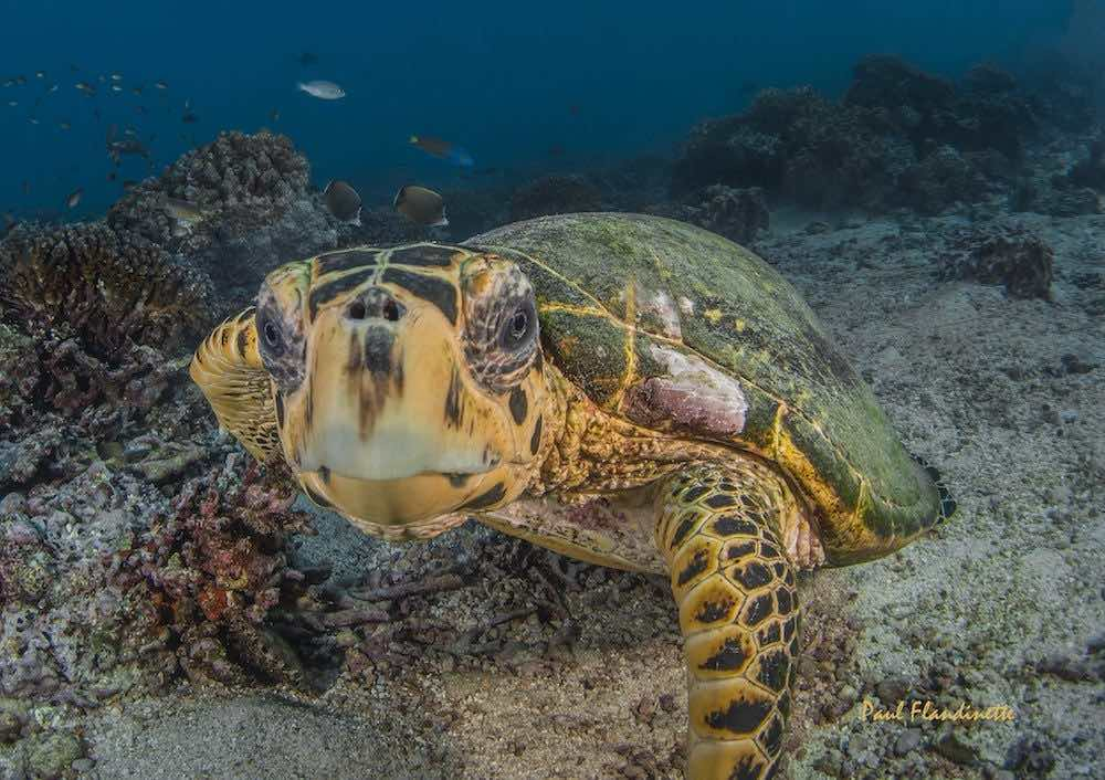 Green Turtle Chelonia Mydas in oman 2