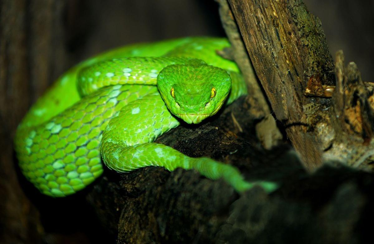 green pit viper