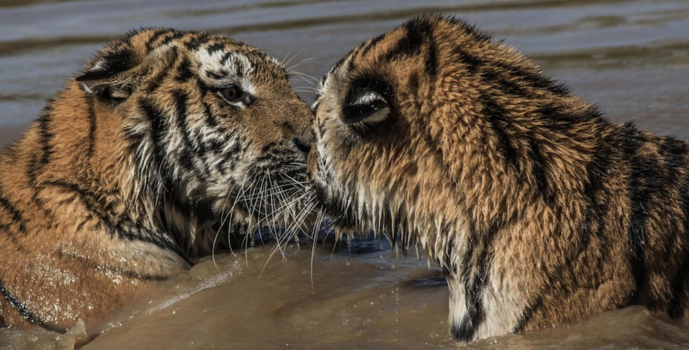 Yorkshire Wildlife Park Tigers