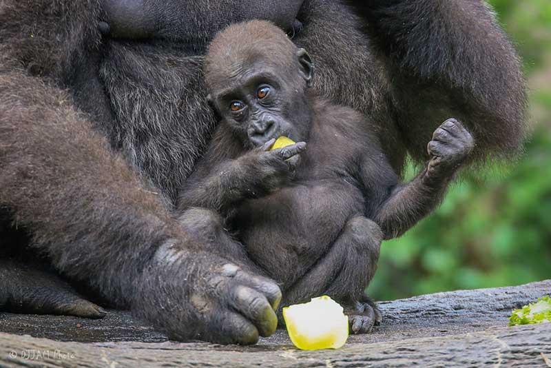 cincinnati zoo gorilla world