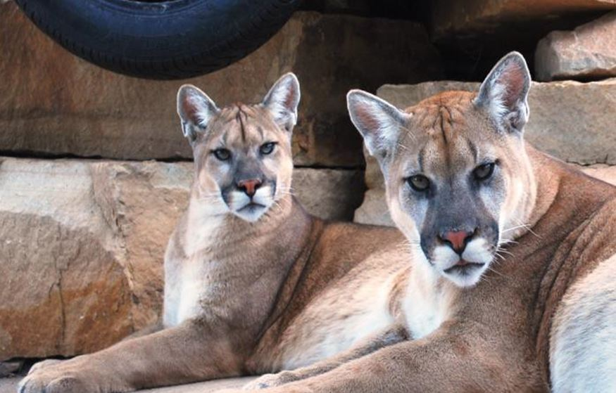 Cougars in wisconsin