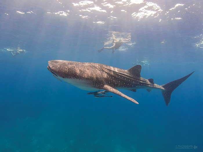 Whale Shark Oman biggest aquarium