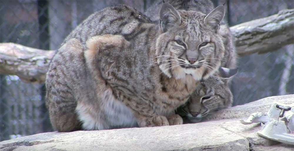 Cosley Zoo big cat