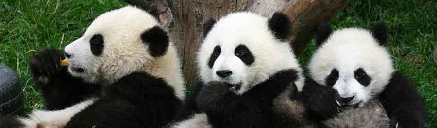 pandas Hi, Panda