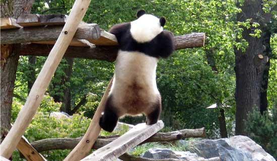 panda in trouble Hi, Panda