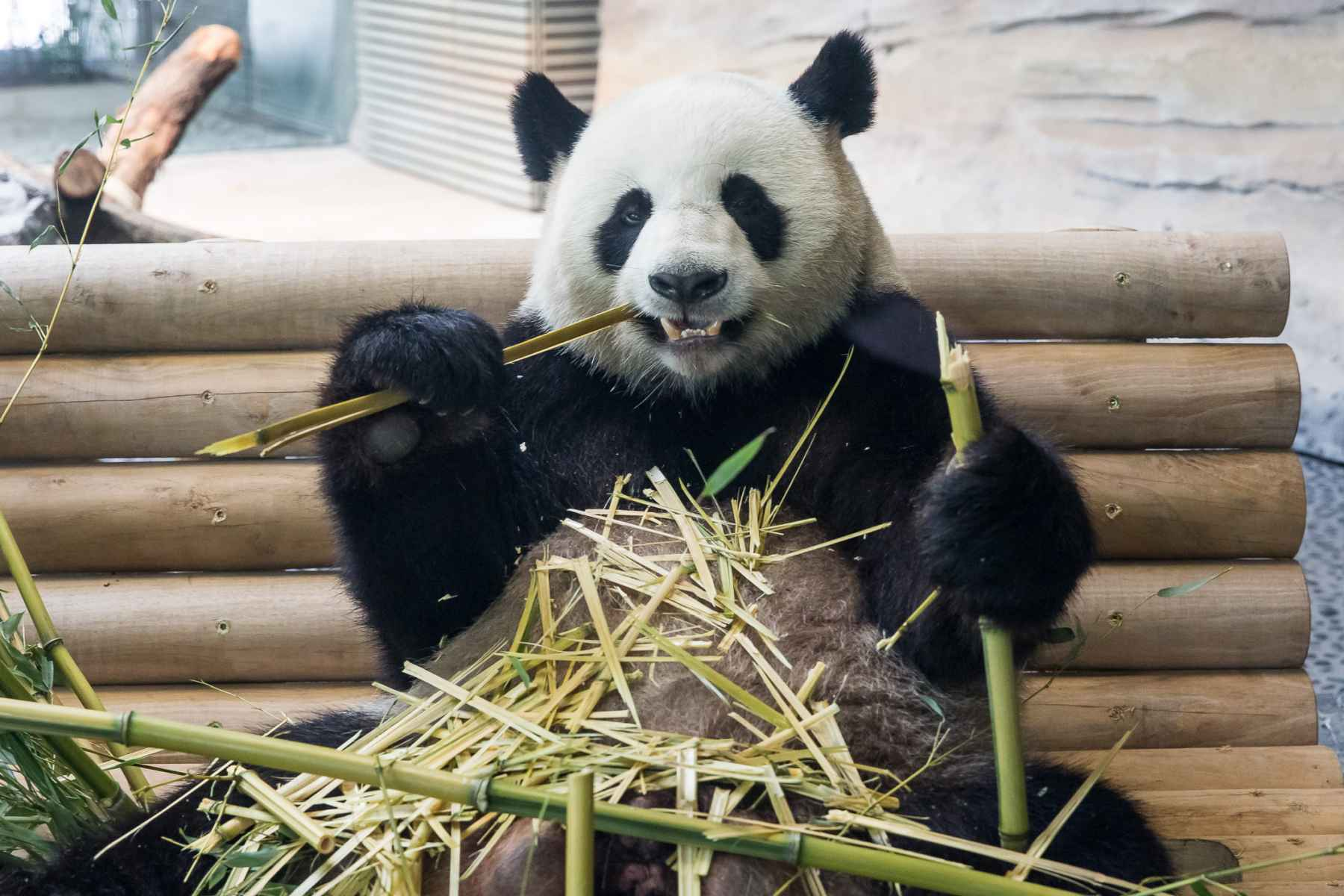 Furry happy: dan pearlman celebrates state opening of Berlin Zoo's new Panda Garden exhibit