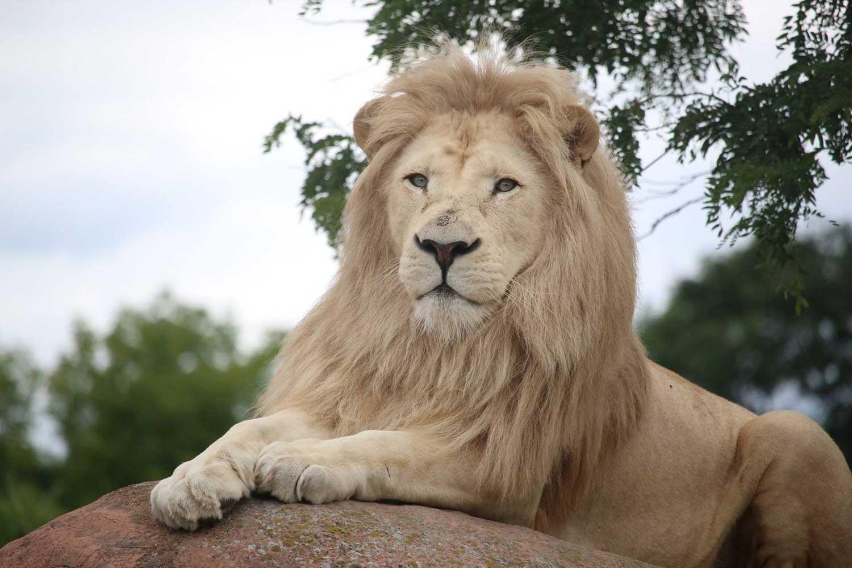 Toronto Zoo Lion