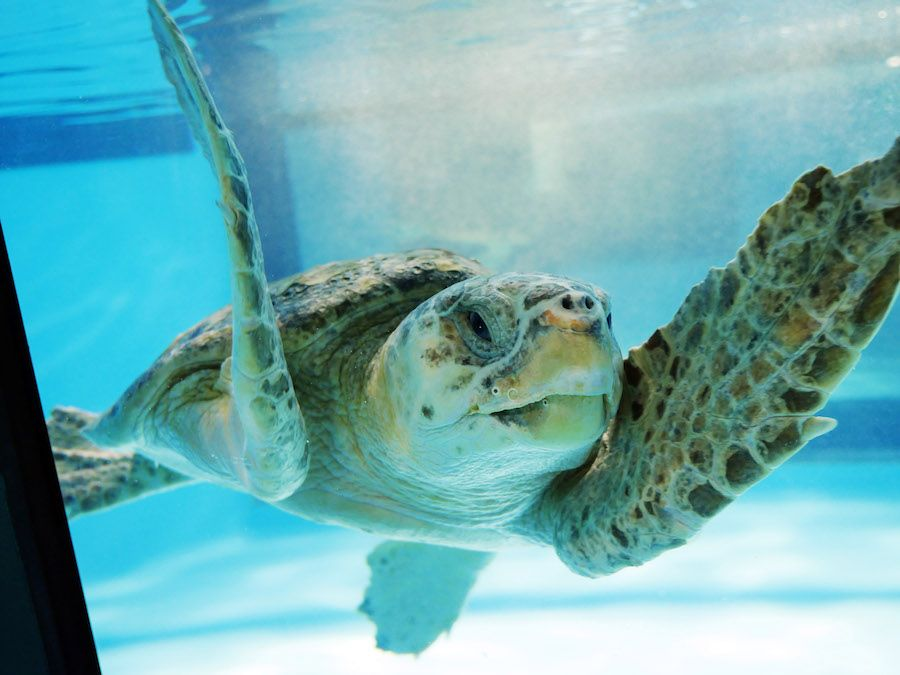 turtle swims at Zucker Family Sea Turtle Recovery