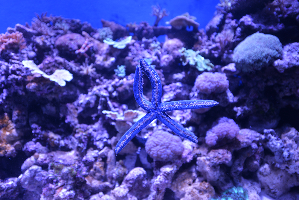blue starfish Cairns Aquarium