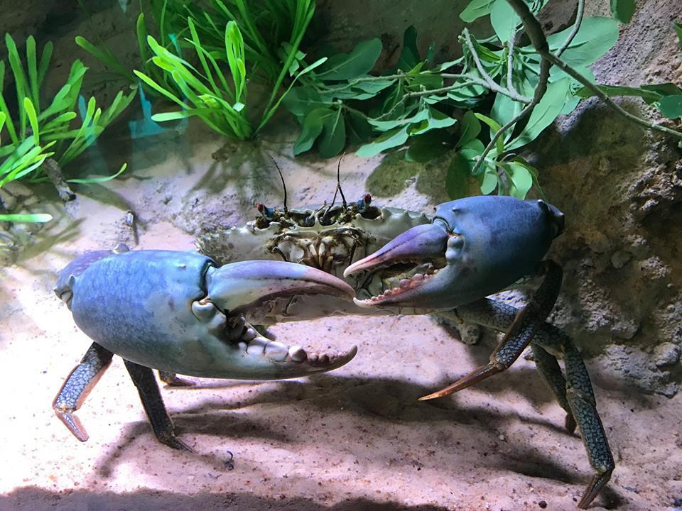 mud crab Cairns Aquarium