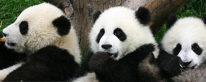 Virtual reality to see Chengdu pandas