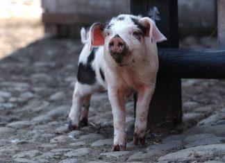 farm baby pig tatton park