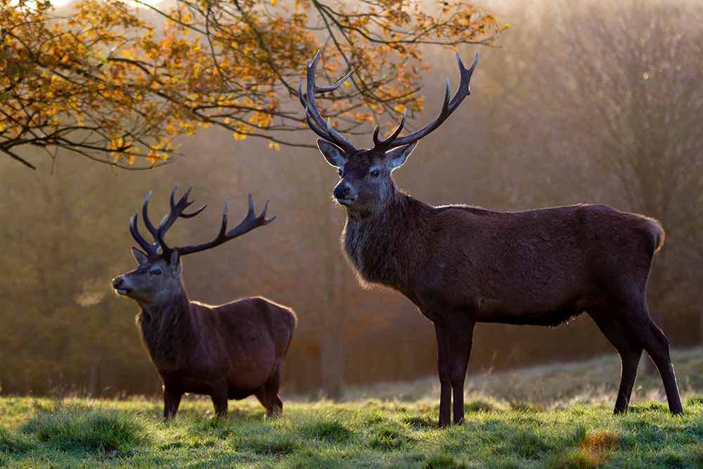 red deer tatton park autumn fall