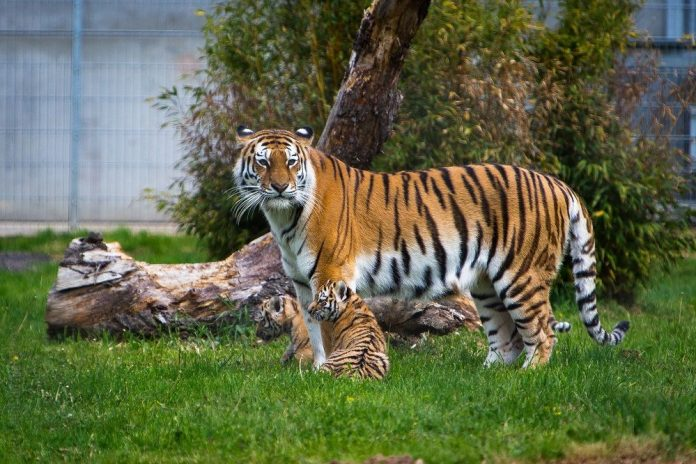 Tschuna and her cubs at Yorkshire Wildlife Park