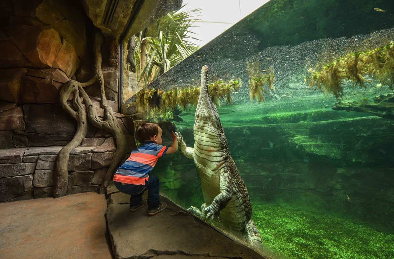 chester-zoo-frankie-the-sunda-gharial-crocodile a