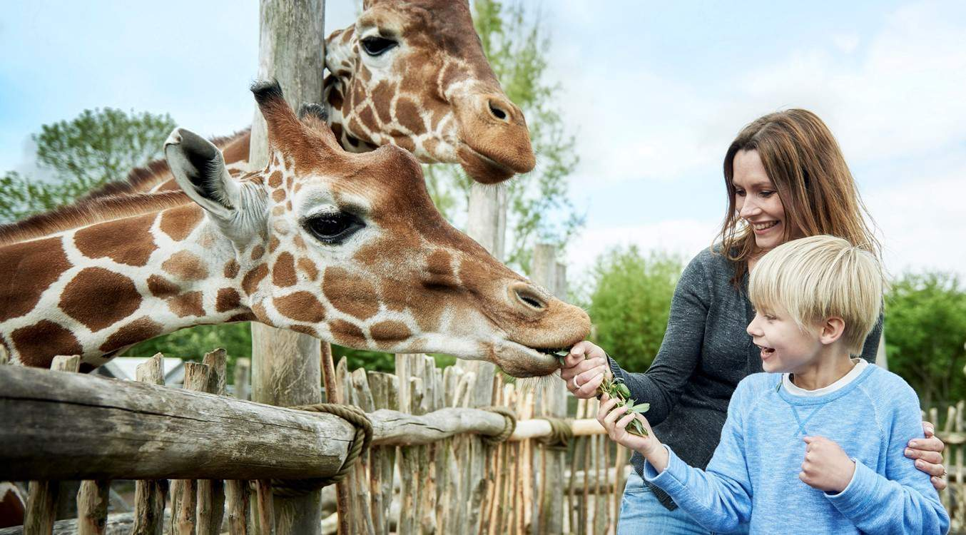 boy and mother feeding giraffes at odense zoo denmark, mobaro park