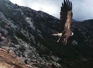 eaza atticapark vulture release