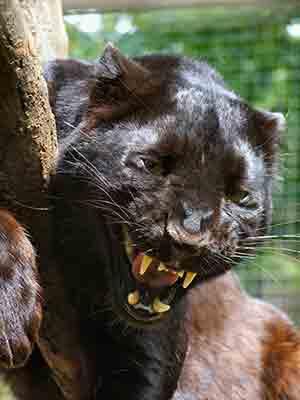 exmoor beast eye open growl