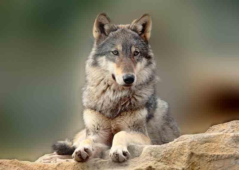 hendrix the wolf exmoor zoo