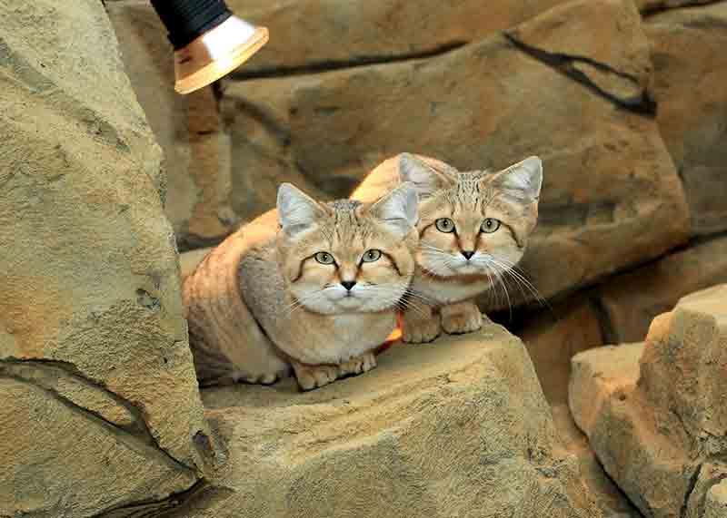 minicats exmoor zoo