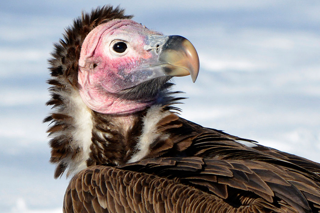 Lappet faced vulture from Detroit Zoo, run by the Detroit Zoological Society which is opening the Great Lakes Nature Center.